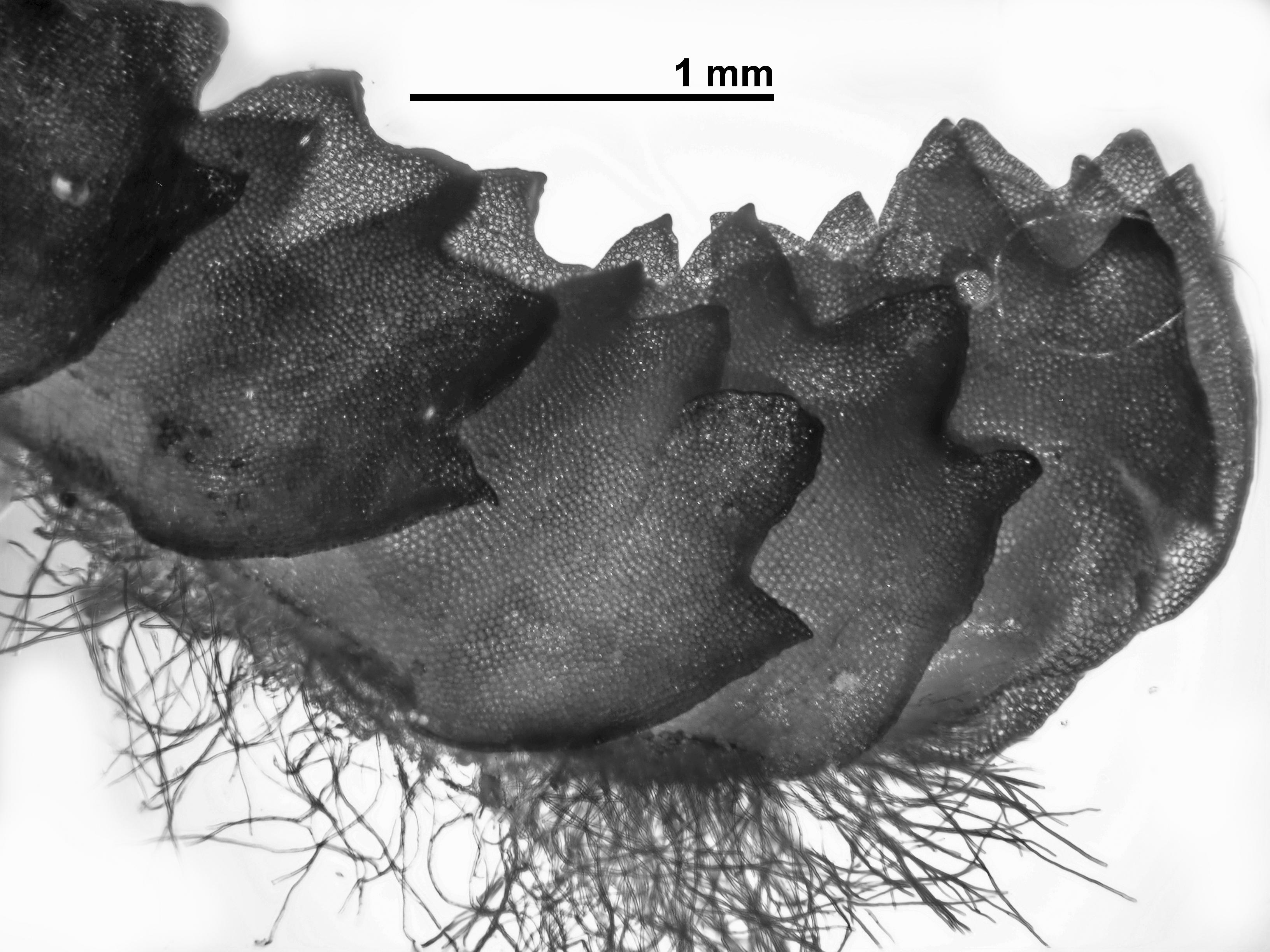Barbilophozia barbata - shoot side view