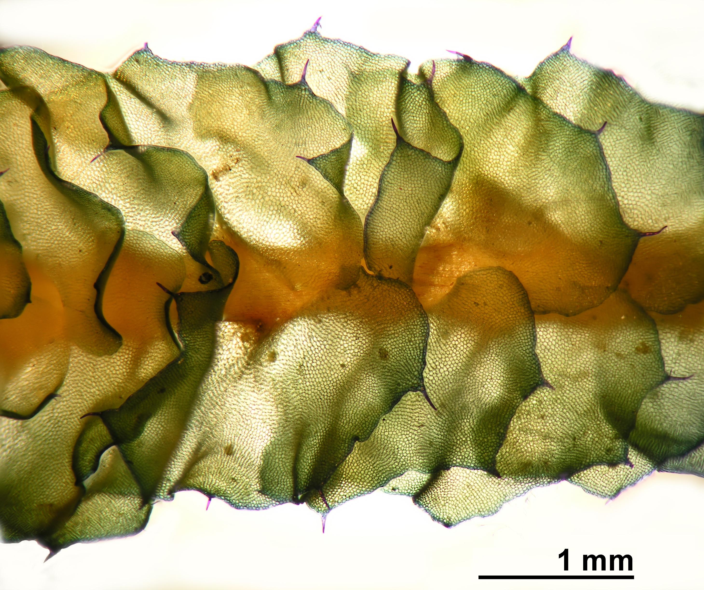 Barbilophozia lycopodioides - shoot