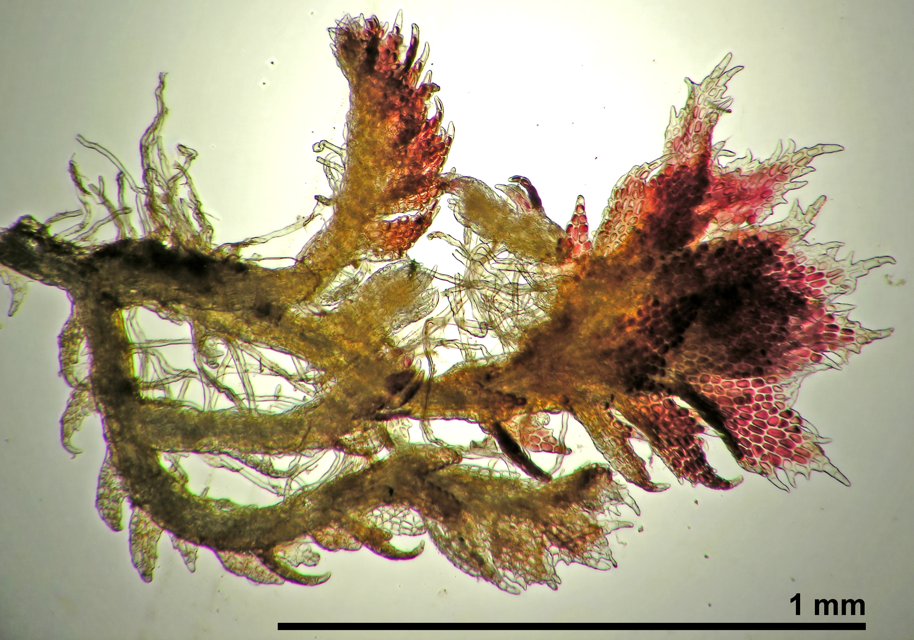 Cephaloziella spinigera - autoicous shoot
