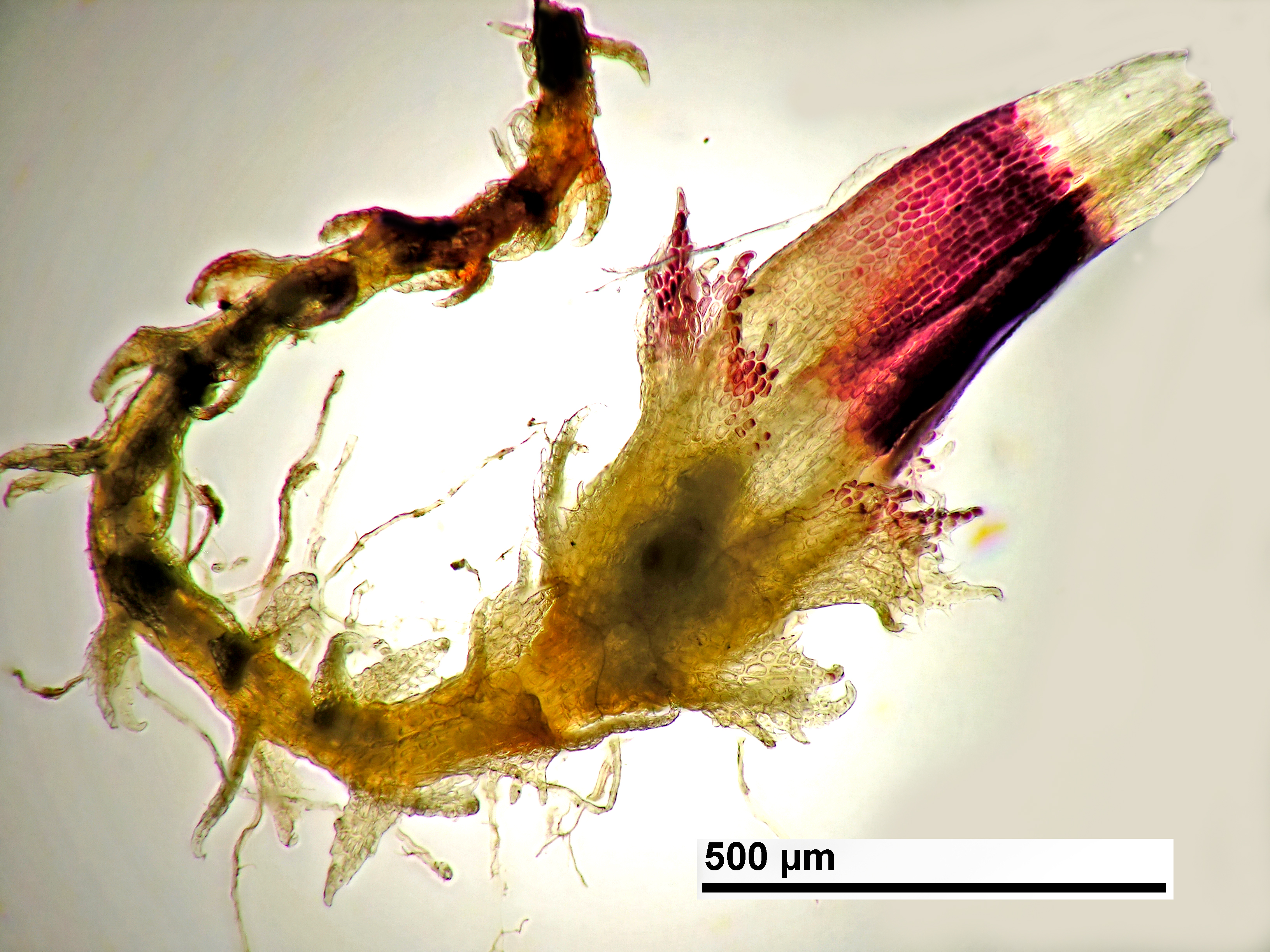 Cephaloziella spinigera - female shoot