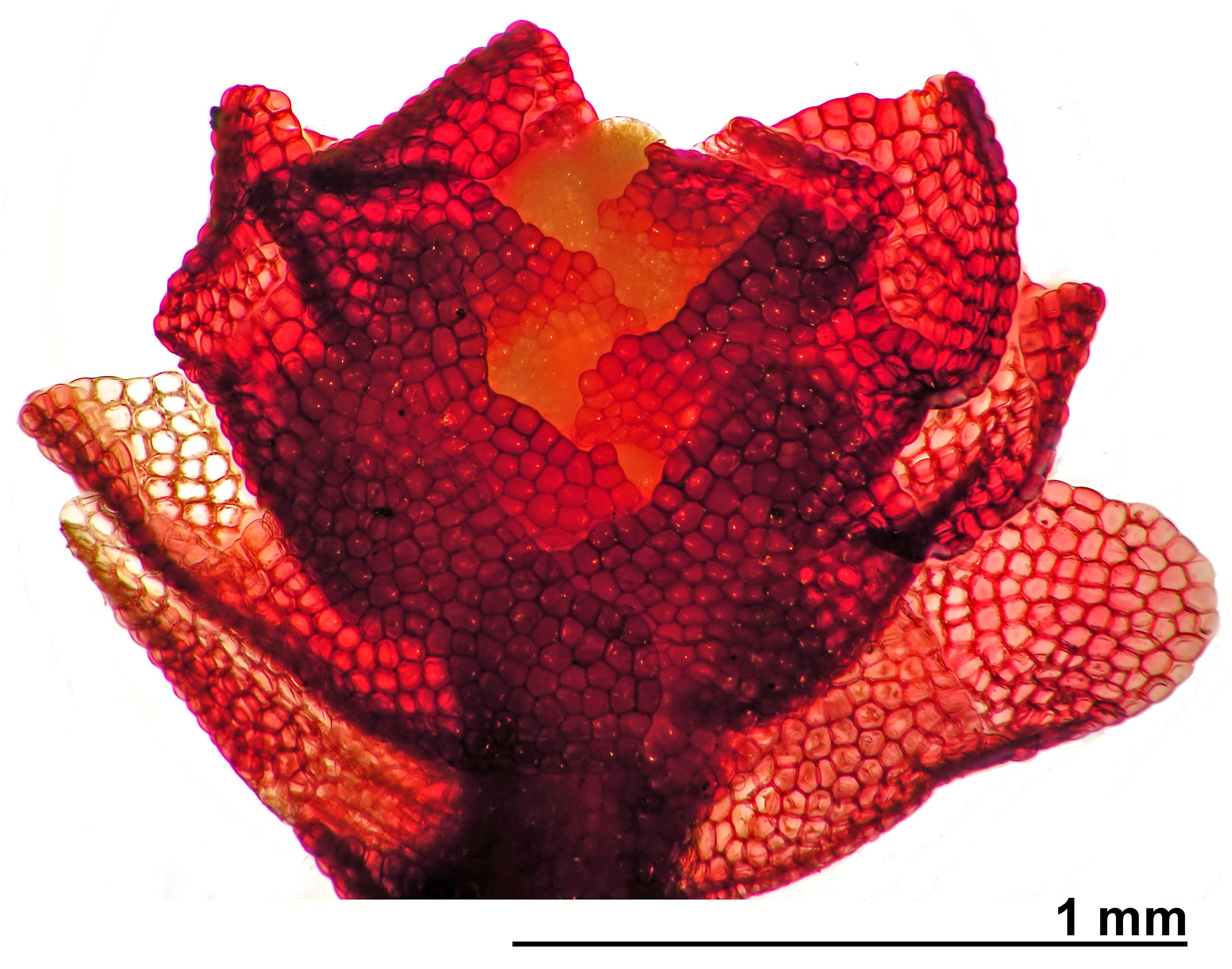 Lophozia laxa - male shoot tip