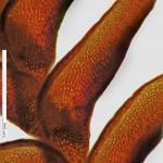 Marsupella aquatica - leaf