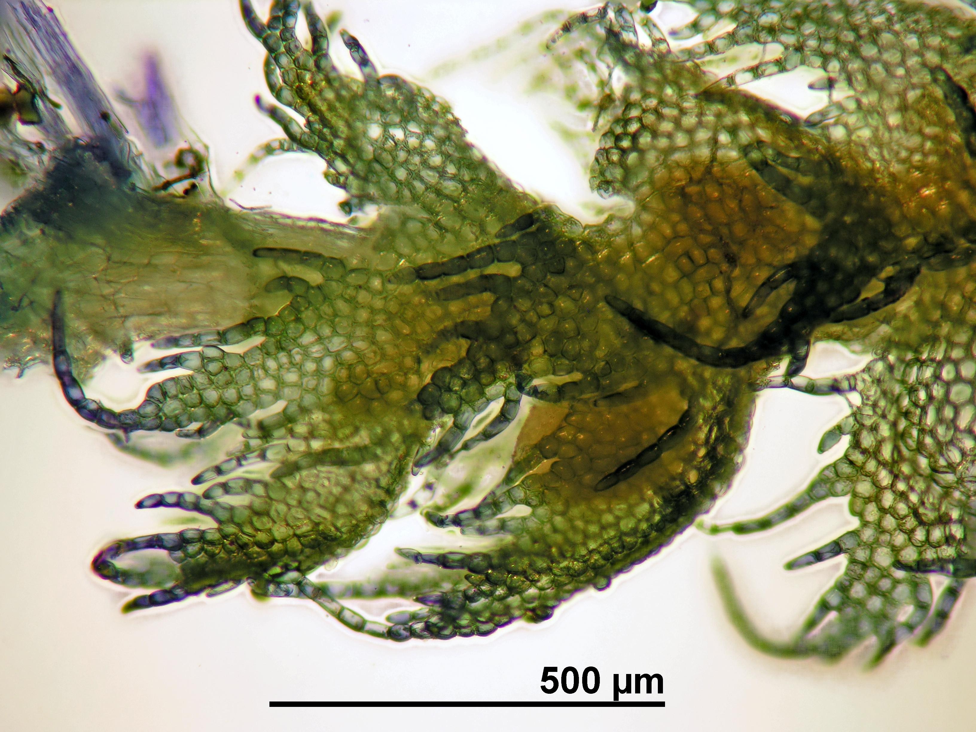 Ptilidium pulcherrimum - male bracts