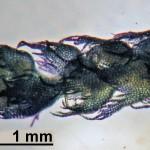 Ptilidium pulcherrimum - male shoot