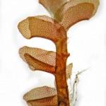 Scapania obscura - ventral aspect, stripped