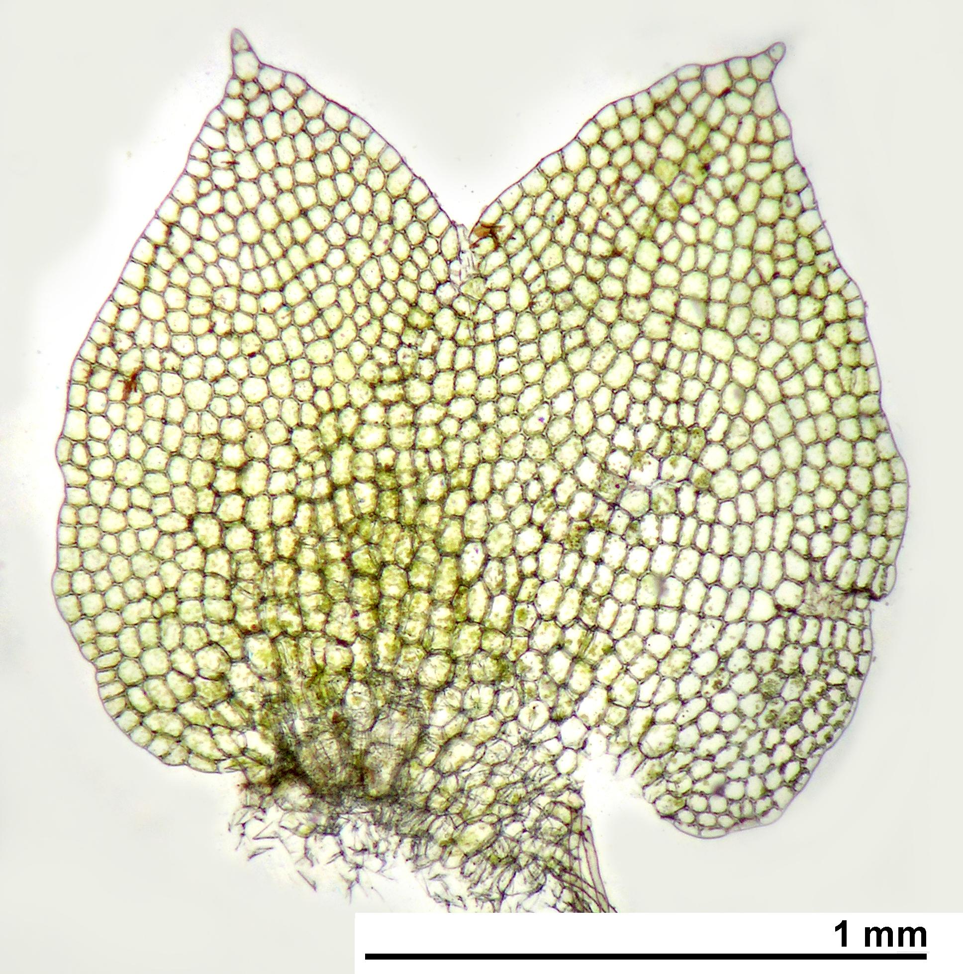 Schofieldia monticola - leaf