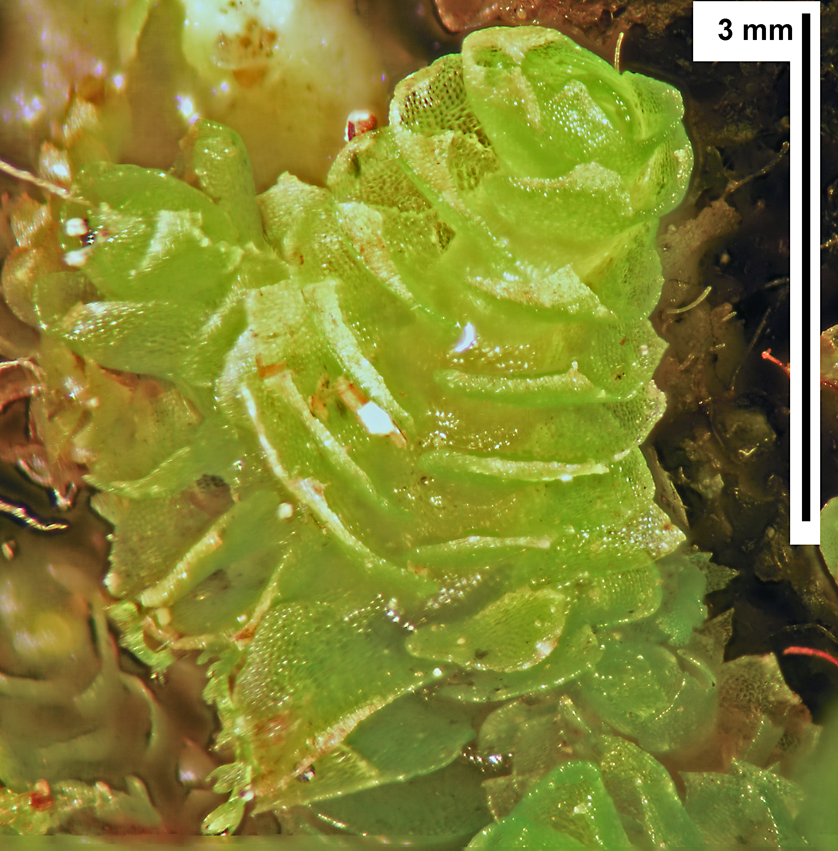 Schofieldia monticola - shoot in situ