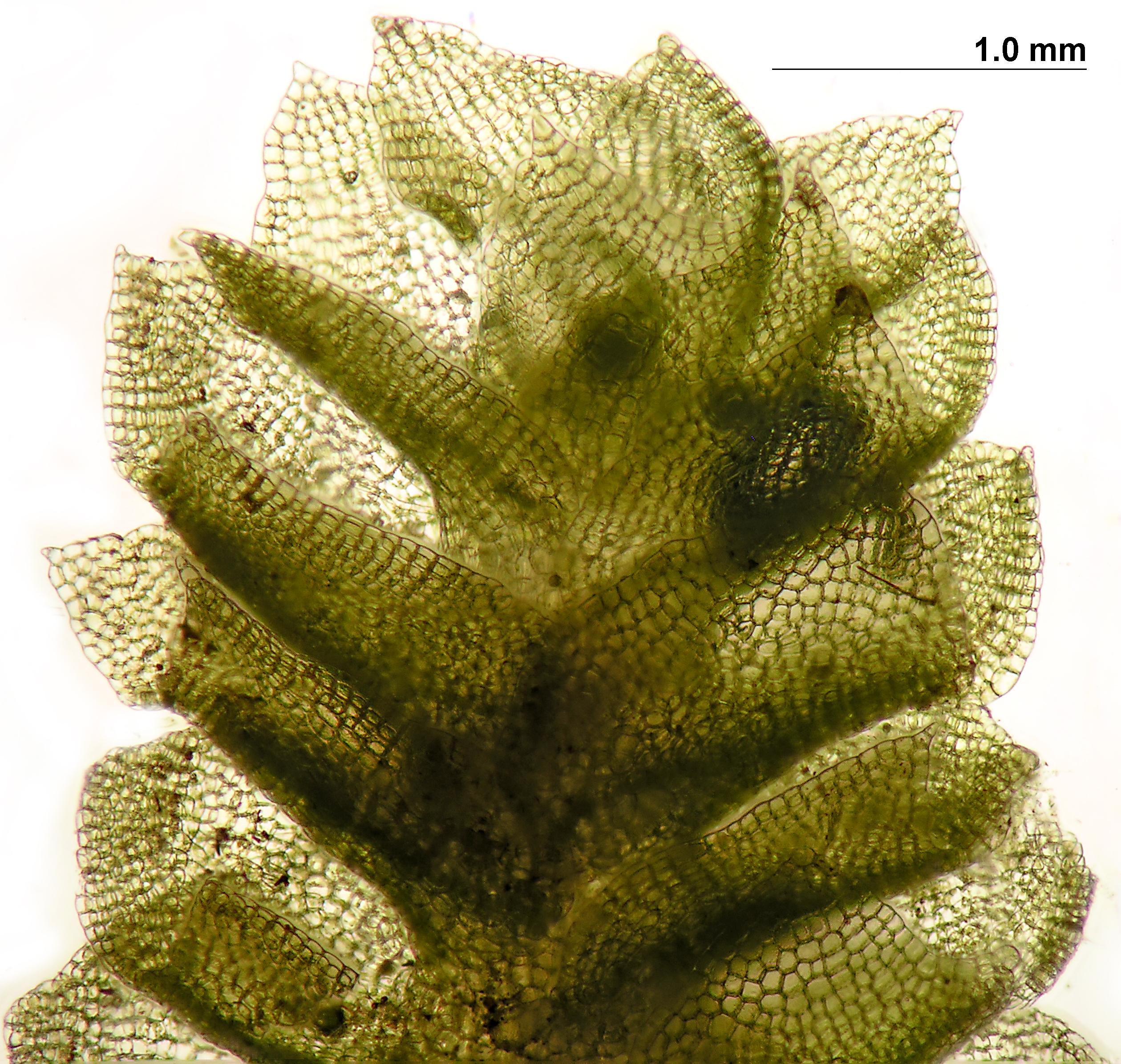 Schofieldia monticola - shoot