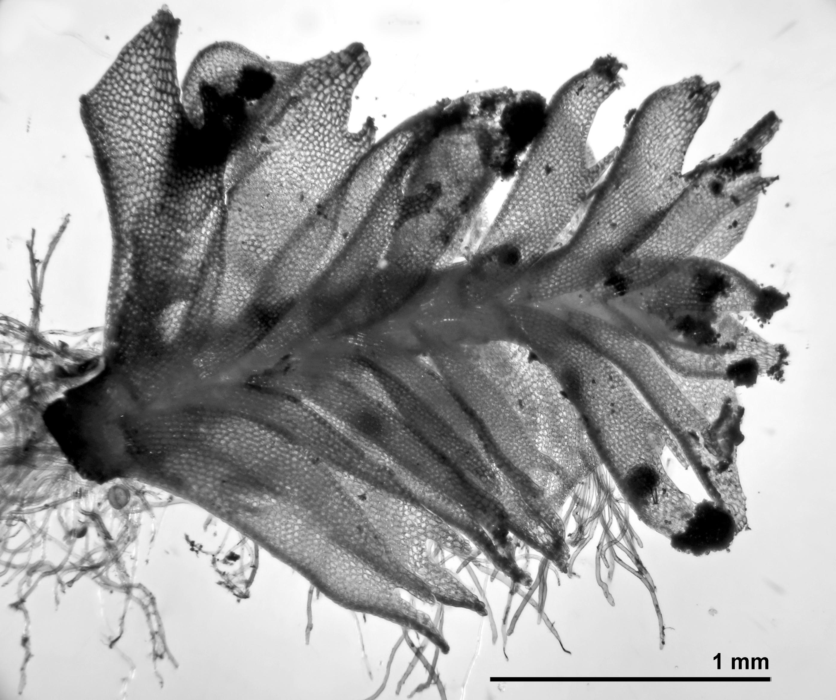 Tritomaria exsectiformis - shoot