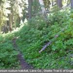 Rhizomnium nudum habitat on Potholes trail