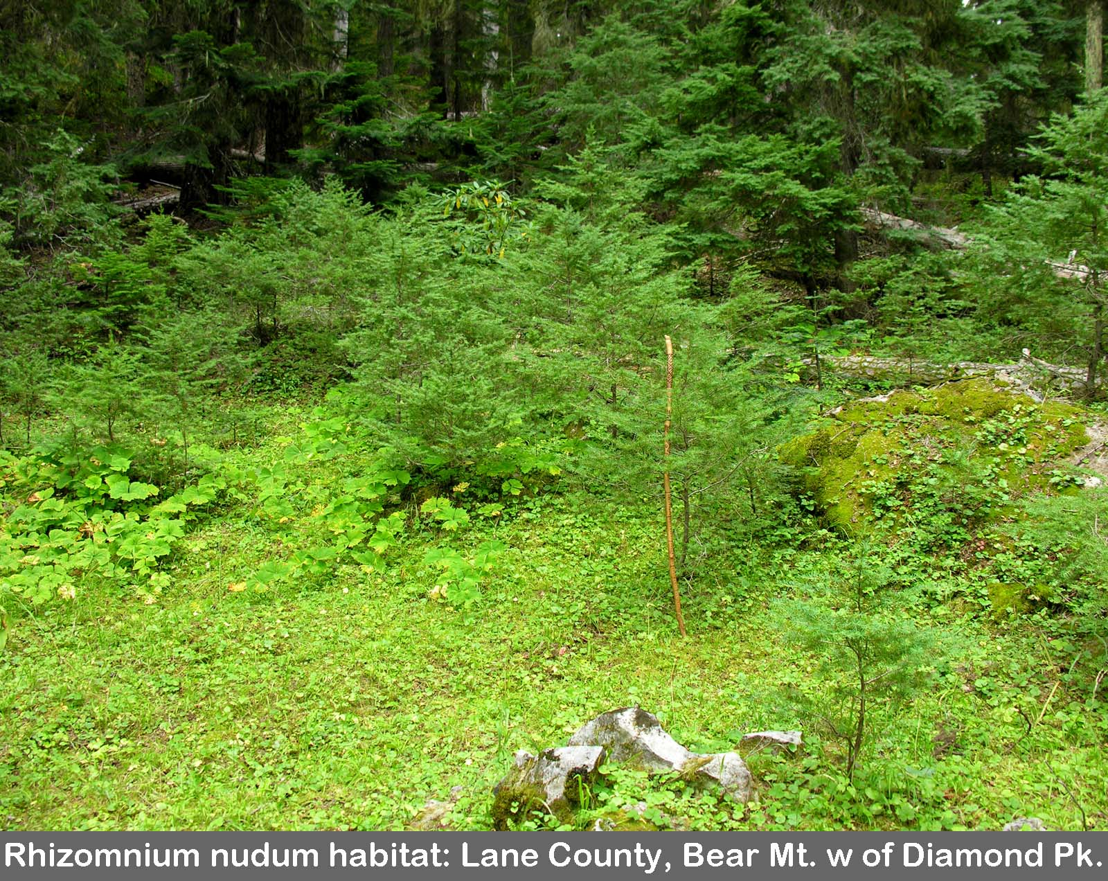 Rhizomnium habitat west of Diamond Lake
