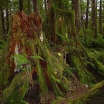 12 Rotting stumps with moss