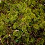 13 Pleuroziopsis ruthenica