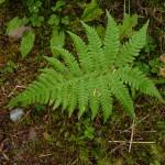 24 Northern beech fern