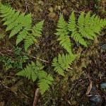 28 Spreading wood fern