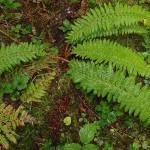 29 Alaska sword fern