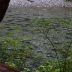 9 Humpback salmon in river